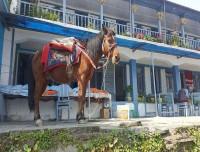 Himalayan-Pony-Horse-at-Annapurna-Base-camp-Trek