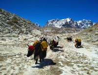 Himalayan Yak carrying goods at Everest