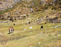animal-grazing-at-Langtang-valley