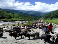 bringing-mountain-goats-for-sale-in-pokhara