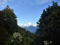 rhododendron-trees-with-dhaulagiri